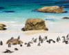 African Penguins at Boulders Beach Cape Town South Africa  - Spectacular South Africa Guided Tour