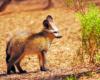 Bat-eared Fox Namibia