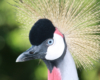 Crowned Crane Uganda