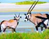 Gemsbok in Namibia