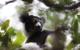 Lemur in Andasibe Madagascar J