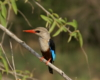 Uganda Kingfisher