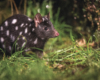 Spotted-tail Quoll, Tasmania