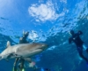 Shark Snorkel Awesome Fiji