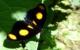 Orange Task Butterfly, Costa Rica