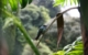 hummingbird panama