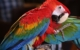 scarlet-macaw-tropical-bird-Costa Rica