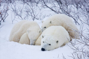 Polar Bear and Cubs Napping Richard Day 1  - Uniquely Canadian Day Tour Experiences